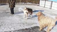 家养的狗看到狼,会是什么反应?这狼的反应,让狗主人都意外!