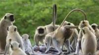将一只假猴子放到猴群中,当假猴发生意外时,猴群反应让人泪目!