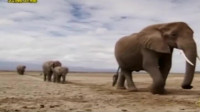 象王带领跟随他的成员去寻找伤害大象的人
