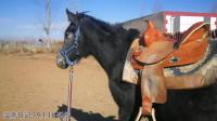 温蒂日记19-1-16-汽车脱敏-塑料袋脱敏-马术训马骑马