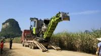 重型卡车运输甘蔗收割机正在卸车,收割甘蔗作为糖厂的原材料甘蔗切段