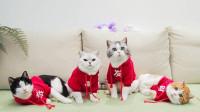 主人和猫咪穿同款新衣迎新年,吃完年夜饭竟还舞狮!猫:丢脸!