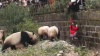 """小女孩不慎坠入大熊猫饲养池 被众熊猫""""围观"""""""
