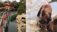 游客投喂棕熊 不料误将苹果手机当苹果扔出 棕熊见到咬起就'溜'