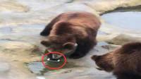 """尴尬!游客误将手机当苹果投喂给棕熊  网友:最贵的""""苹果"""""""