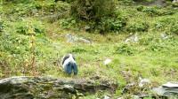 在稻城亚丁了我看见 一种动物,谁知道它叫什么