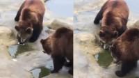 游客误将手机投喂棕熊 棕熊: 说好的苹果呢?