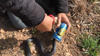 大蛇饥渴难耐钻进易拉罐被卡 专家剪罐救蛇警告别乱扔垃圾