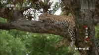 动物世界:年轻的狮子看到树上的豹子时,突然受启发,那么会是什么启发呢?