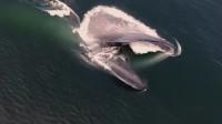 蓝鲸吃东西的时候嘴巴能张多大?网友:这一开口都能放下汽车了!