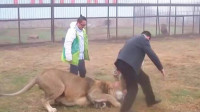 雄狮抓住游客的小腿,饲养员一巴掌拍过去,镜头记录全过程!