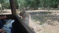 铲屎官专门带二哈去动物园看豹子,看到狗子的反应铲屎官心中暗喜!