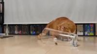 猫咪发现杯子里有粒猫粮,可不曾想胳膊太短,弄了半天就是吃不到!