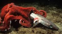 巨型章鱼狩猎凶残鲨鱼,镜头拍下全过程,真是大开眼界!