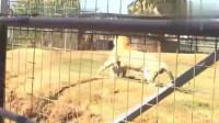 狮虎兽和老虎打斗,百兽之王也是招架不住!