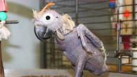 """最""""暴脾气""""的鹦鹉,只因被主人骂了几句,扒光了自己全身的羽毛!"""