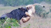 两只狮子大战一只角马,感觉狮子弱不禁风,角马何来的勇气?