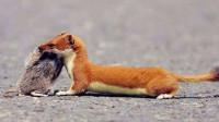 黄鼠狼喜欢偷鸡吃,为什么人们不把它赶尽杀绝?并非因为迷信!