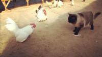 韩国猫咪不走寻常路,在鸡群中称王,还收养了两个鸡宝宝