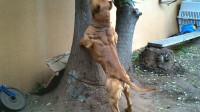 狗狗偷吃家里蛋白粉,半年后长出了一身肌肉,网友看了心疼不已