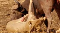 两只狮子想要捕食野牛,野牛拼死反抗成功逃生,镜头拍下全过程!