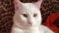 """地球上最要命的猫,长相娇小可爱,却可秒杀长颈鹿,人称""""杀手"""""""