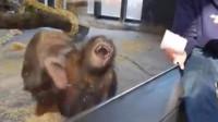 男子给猩猩表演魔术,下一秒猩猩突然哈哈大笑,镜头拍下全过程!