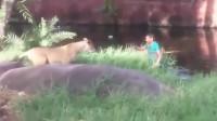 醉酒男跳进狮圈,非要和狮子谈心,路人拍下作死过程!