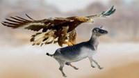 """老鹰捕猎山羊,由于山羊太重飞不起来,竟然""""坠机了"""""""
