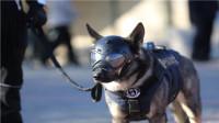 警犬专用头盔,戴上变身超级狗狗,到底有什么特色?