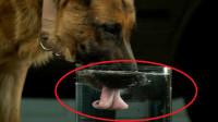 狗狗是怎么喝水的?把镜头放慢50倍,你还以为它是舔着喝水的吗?