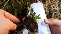 扦插成活的月季挖出来,长时间不移栽,可以这样处理一下