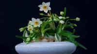 水仙花叶子发黄,影响花期的观赏价值,注意这几点就能避免