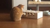 给橘猫买了个玩具,它每天睡醒就坐在那研究怎么抓住它