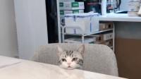 一只趴在桌子上卖萌的小猫咪,这样真的超可爱