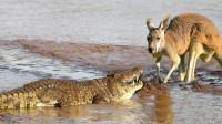 鳄鱼捕食就是快准狠,袋鼠还没反应就被吃了,被镜头全程拍下!
