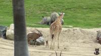 羚羊妈妈不断挑衅长颈鹿,长颈鹿忍无可忍,使出这招让羚羊后悔