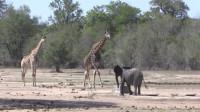 大象和长颈鹿打架,一个用鼻子一个用脖子,结局竟是这样