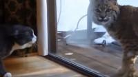 天不怕地不怕的猫咪碰到它秒怂,竟然被吓到破音
