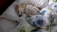 女主人让柴犬去叫男友起床,5分钟以后,狗狗:这床真暖和!