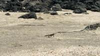 蜥蜴勇闯蛇巢,遭上百条毒蛇围追堵截,沙漠戈壁上演绝地求生!