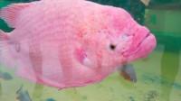 这种鱼长相真奇特,大脑居然在外面,已经活了18年