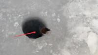 渔民垂钓在冰面上开了一个洞,一只呆萌小家伙爬出,傲娇蹭鱼吃