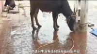 这头被电死的牛 虽然有点冤 但是功德无量