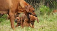 为什么有的狗妈妈会把自己的小狗崽咬死呢?看看科学的解释