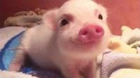 猪年冷知识:为什么小猪佩奇是粉色的,涨知识了!