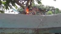游客扔给猴子一个打火机,猴子玩火机把毛烧掉了,转身对游客就骂
