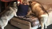 一看就知道是奶奶养大的宠物,一听到奶奶来了立马就狂欢了