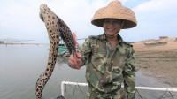 老四开船狂放几十个鳗鱼笼,第二天抓一堆海鲜,全是值钱大货