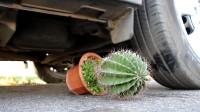 用汽车压一盆仙人掌,轮胎会被扎爆吗?睁大眼睛看仔细!
